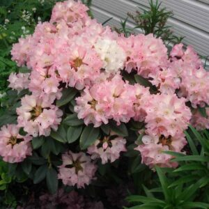 Camelias & Rhododendrons